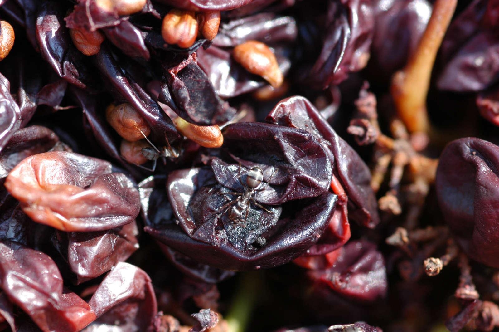 Vinacce ricche di polifenoli